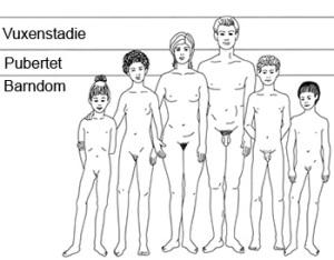 Faser i puberteten